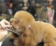宠物美容培训:如何才能达到专业宠物美容师的水准